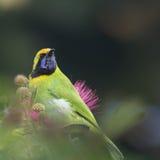 Gouden-uitgezien op leafbird in rode poederdonsjeboom Royalty-vrije Stock Afbeeldingen