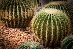 Gouden van vatcactus of Echinocactus grusonii Royalty-vrije Stock Foto's
