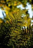 Gouden varenblad in de herfst Stock Foto
