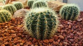 Gouden Vatcactus, de Installatie van Echinocactus Grusonii Stock Fotografie