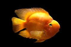 Gouden vissen Stock Afbeelding