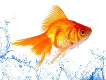 Gouden vissen. Royalty-vrije Stock Foto's