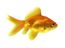 Gouden Vissen Stock Afbeeldingen
