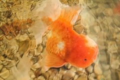 Gouden vissen Royalty-vrije Stock Foto's