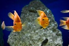 Gouden vissen Royalty-vrije Stock Foto