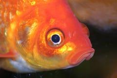 Gouden vissen in aquarium royalty-vrije stock afbeelding