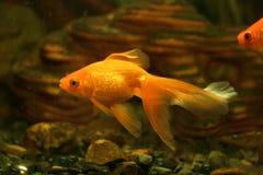 Gouden vissen in aquarium stock foto