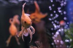 Gouden vissen in aquarium met groene installaties en luchtbellen royalty-vrije stock foto