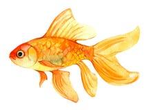 Gouden vissen die op wit, waterverfillustratie worden geïsoleerd royalty-vrije stock fotografie
