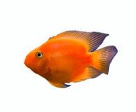 Gouden vissen die over wit worden geïsoleerdt Stock Afbeelding