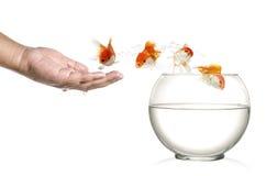 Gouden vissen die uit menselijke palm en in fishbowl springen die op wit wordt geïsoleerd Stock Afbeeldingen