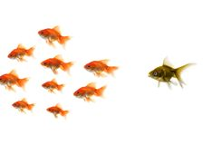 Gouden vissen die van de menigte duidelijk uitkomen Stock Foto