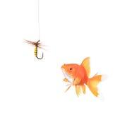 Gouden vissen en een visserijhaak royalty-vrije stock foto's