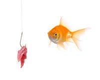 Gouden vissen en een visserijhaak stock afbeelding