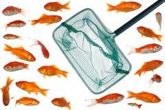 Gouden vissen en netto stock foto