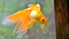 Gouden vissen (gouden karper) Royalty-vrije Stock Afbeeldingen