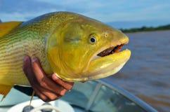 Gouden vissen Gouden vissen genoemd Dourado Royalty-vrije Stock Afbeelding