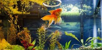 Gouden Vissen het Voeden Tijd Royalty-vrije Stock Afbeelding