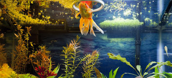 Gouden Vissen het Voeden Tijd Royalty-vrije Stock Fotografie