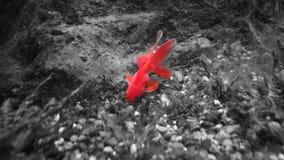 Gouden vissen met lang vin zwart wit rood stock fotografie