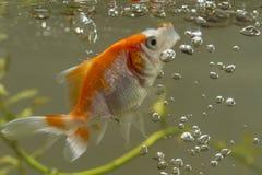 Gouden vissen met open lippen en ballons Stock Afbeeldingen