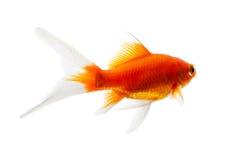 Gouden vissen op de witte achtergrond Stock Foto's