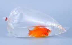 Gouden vissen in plastic zak Stock Foto's