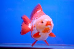 Gouden vissen in vissentank stock foto