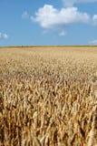 Gouden wheatfield en blauwe hemel Royalty-vrije Stock Foto's