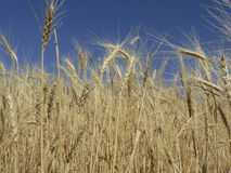 Gouden wheaties royalty-vrije stock afbeeldingen