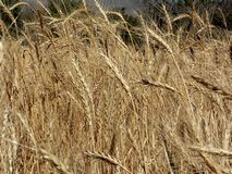 Gouden wheaties stock afbeelding