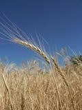 Gouden wheaties stock foto's
