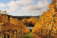 Gouden wijngaard in de Herfst Stock Afbeelding