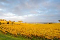 Gouden wijngaard in de Herfst Stock Afbeeldingen