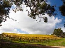 Gouden wijngaard in de Herfst Royalty-vrije Stock Afbeeldingen