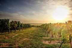 Gouden wijngaarden Stock Afbeelding