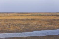 Gouden zeewier, de netten in de getijdevlakte, moerasland in de winter Stock Foto's