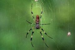Gouden zijde orb-wever (soort Nephila) het spinnen Web stock foto