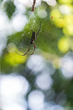Gouden zijde orb-wever spin Royalty-vrije Stock Foto's