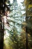 Gouden zon tussen bomen stock foto