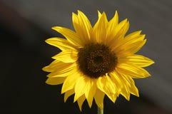 Gouden Zonnebloem Stock Afbeelding