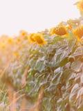 Gouden zonnebloem op het gebied backlit door stralen van het plaatsen van zon stock afbeeldingen