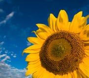 Gouden zonnebloemen op een achtergrond van de blauwe hemel Royalty-vrije Stock Afbeelding