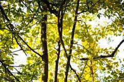 Gouden zonneschijn en ginkgoboom Stock Foto