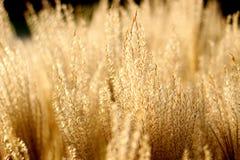 Gouden zonnige installaties Stock Foto's