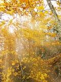 Gouden zonstralen in de herfstbos Stock Fotografie