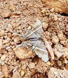 Goudmijnvlinder stock foto