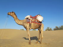 Goudron de Camel.Desert Images stock