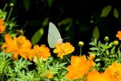 Goudsbloem (officinalis Calendula) Royalty-vrije Stock Foto