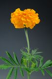 Goudsbloem (Tagetes Erecta) Bloem op Gray Background Royalty-vrije Stock Foto's